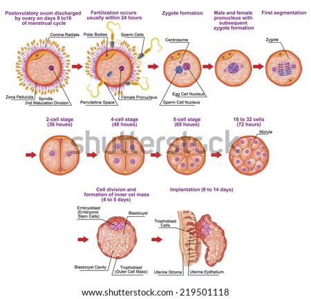 Human ontogeny, fertilization, developmental stage, embryology, cells development in the uterus, human embryogenesis, cell division, cleavage, blastulation, implantation, after Sadler - stock photo
