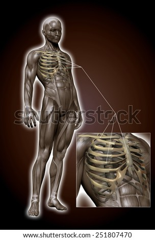 human ribs - stock photo