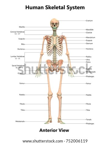 Human skeletal system anatomy detailed labels em ilustrao stock human skeletal system anatomy with detailed labels anterior view 3d ccuart Choice Image