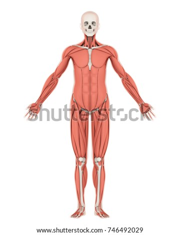 Human Skeleton Muscle Anatomy Isolated Front Stock Illustration ...