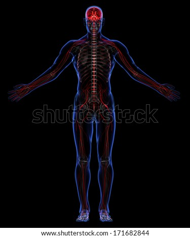 Human nervous system on display - photo#28