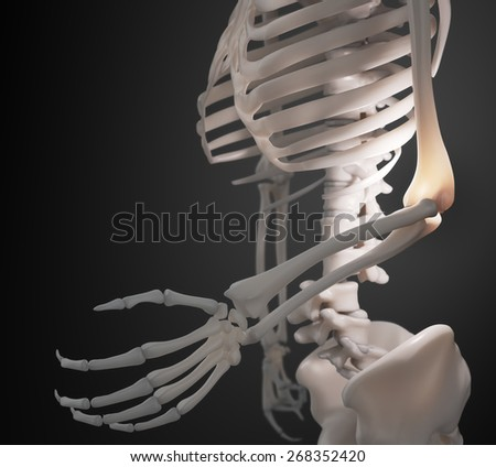 Human skeleton - arm and elbow anatomy - stock photo