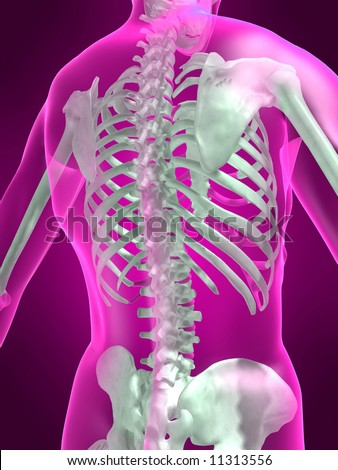 human skeleton - back view - stock photo