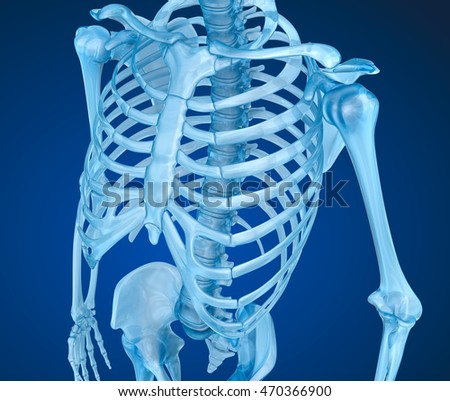 Human skeleton, breast chest. Medically accurate 3D illustration