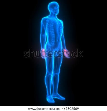 Human Skeleton Finger Joints Anatomy 3 D Stock Illustration