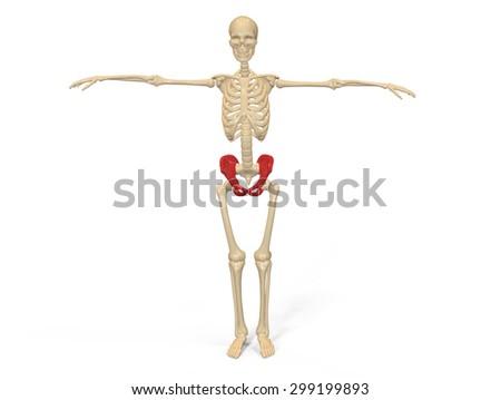 human skeleton hip stock illustration 299199893 - shutterstock, Skeleton