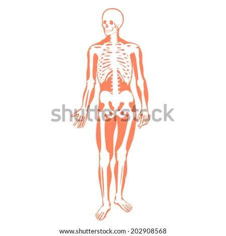 Human skeleton - illustration