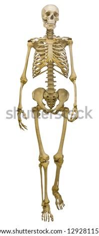 human skeleton isolated on white background - stock photo