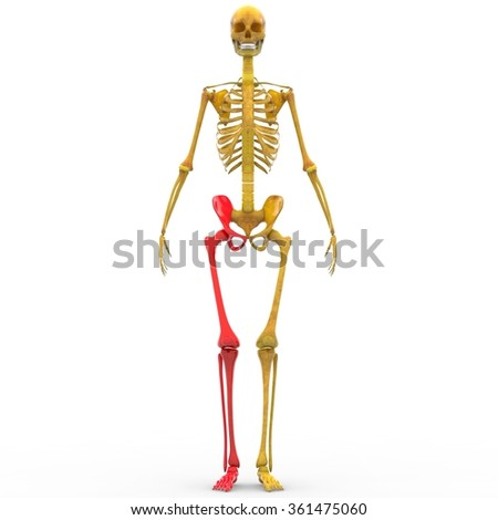 Human Skeleton Leg Joint - stock photo