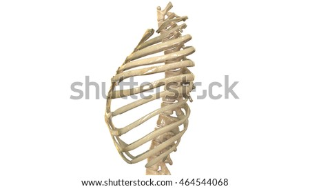 rib cage stock images, royalty-free images & vectors | shutterstock, Skeleton