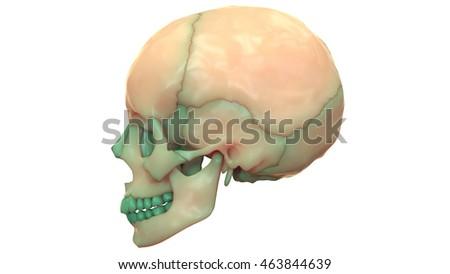 human skeleton skull anatomy 3d stock illustration 463844639, Skeleton