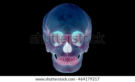 Human Skeleton Skull Anatomy. 3D