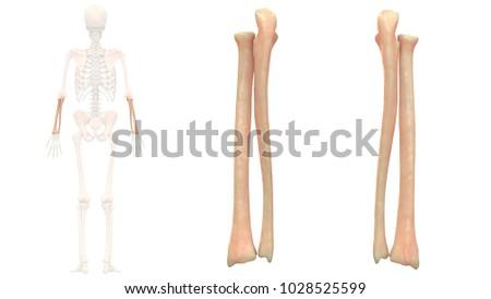 Human Skeleton System Bones Radius Ulna Stock Illustration ...