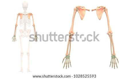 Human Skeleton System Bones Upper Limbs Stock Illustration