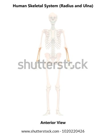 Human Skeleton System Radius Ulna Anatomy Stock Illustration ...