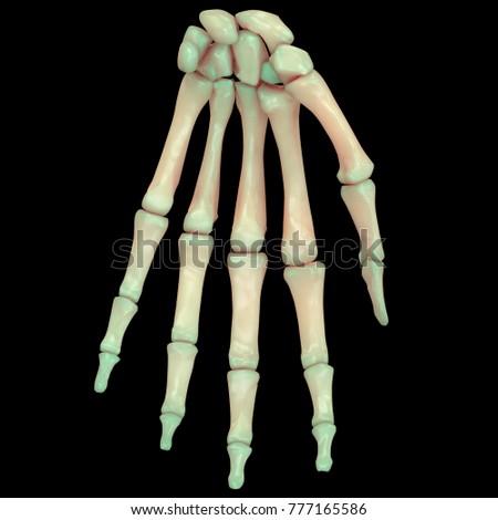 Human Skeleton System Wrist Bones Anatomy Stock Illustration