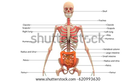 stock images, royalty-free images & vectors | shutterstock, Skeleton