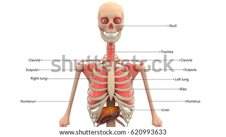 Human Skeleton Organs Anatomy 3 D Stock Illustration 620993633 ...