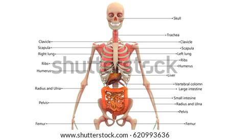 human skeleton organs anatomy 3d stock illustration 620993636, Skeleton