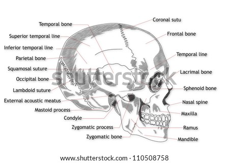 Human Skull Anatomy Stock Images, Royalty-Free Images & Vectors ...