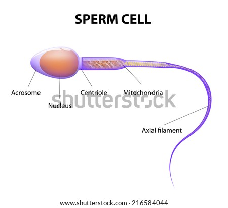 Human Sperm cell Anatomy - stock photo