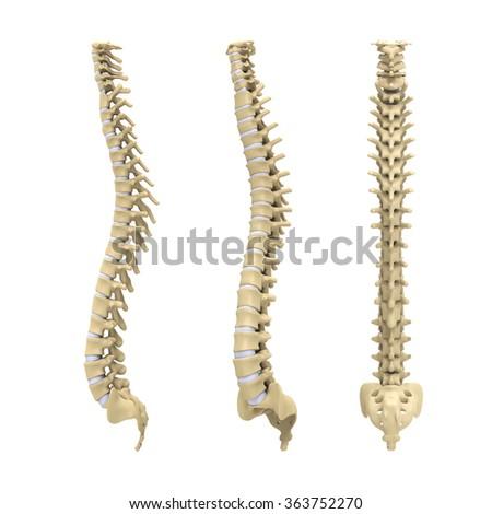Human Spine Anatomy - stock photo