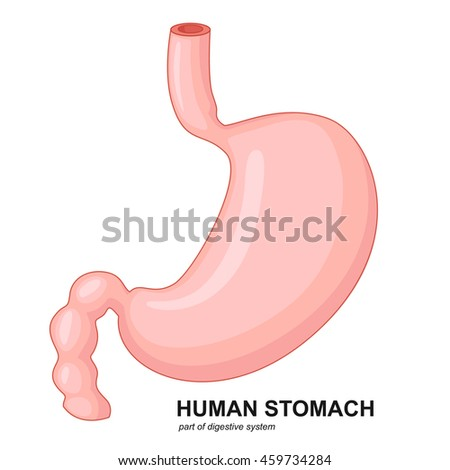 Human stomach cartoon