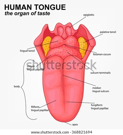 lingual tonsil stock images, royalty-free images & vectors, Human Body