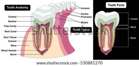 Human tooth cross section anatomy enamel stock illustration human tooth cross section anatomy enamel dentine pulp cavity gum tissue bone nerve blood vessels cement ccuart Image collections