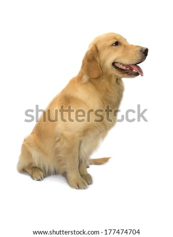 human truly friend golden retriever sitting isolated in white background with clipping path - stock photo