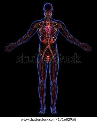 Human urinary, lymphatic and circulatory system - stock photo