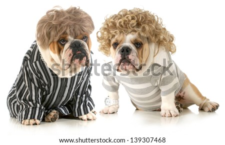 humanized dogs - two english bulldogs wearing wigs and dressed in clothing isolated on white background - stock photo