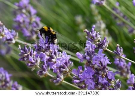 humble-bee in a field of lavander flowers blurred background close up - stock photo