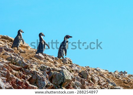 Humbold Penguins in Paracas , Peru