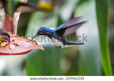 Humming bird eats - stock photo