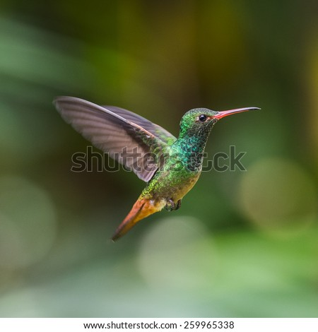 Humming bird flies - stock photo