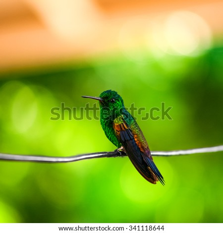 Humming bird resting on a wire Trinidad and Tobago - stock photo