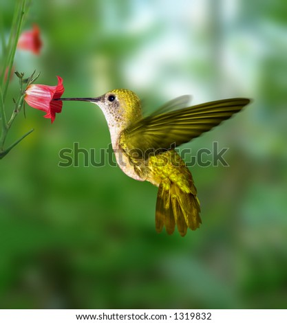 Hummingbird - stock photo