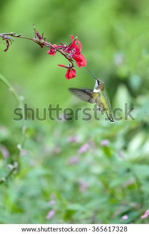 Hummingbird and Red Flower - stock photo