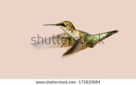 Hummingbird. Beautiful female ruby throated hummingbird in motion, isolated on a neutral colored background. - stock photo