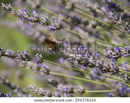 hummingbird butterfly and lavender flower - stock photo