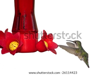 hummingbird digests nectar after morning feeding - stock photo