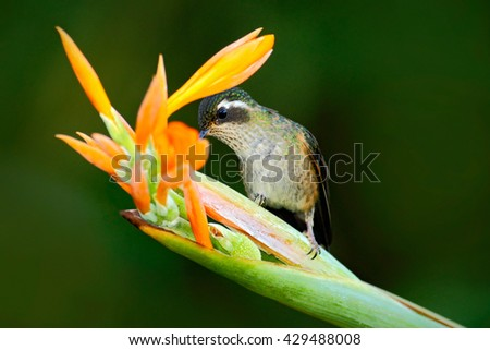 Hummingbird drinking nectar from orange and yellow flower. Hummingbird sucking nectar. Feeding scene with hummingbird. Hummingbird from Ecuador tropic forest. Exotic bird with flower in the forest. - stock photo