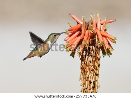 Hummingbird feeding on red flower. - stock photo