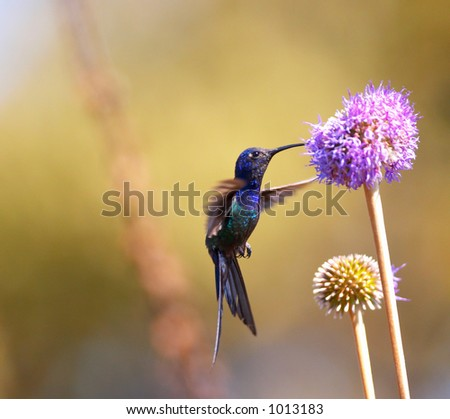 Hummingbird feeding on the flower - stock photo