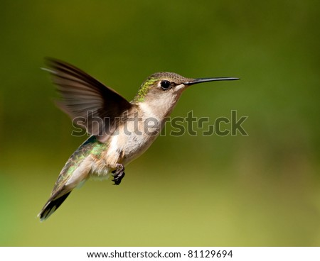Hummingbird female hovering against green background - stock photo