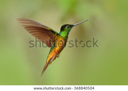 Hummingbird Golden-bellied Starfrontlet, Coeligena bonapartei, with long golden tail, beautiful action fly scene with open wings, clear green backgroud, Chicaque Natural Park, Colombia - stock photo