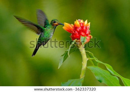hummingbird Green-crowned Brilliant, Heliodoxa jacula, green bird from Costa Rica flying next to beautiful red flower with clear background, nature habitat, action feeding scene - stock photo