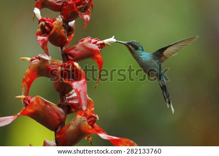 Hummingbird Green Hermit, Phaethornis guy, flying next to beautiful red flower with green forest background, La Paz, Cordillera de Talamanca, Costa Rica - stock photo