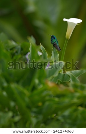 Hummingbird Green Violet-ear (Colibri thalassinus) with white flower in natural habitat, Savegre, Costa Rica - stock photo